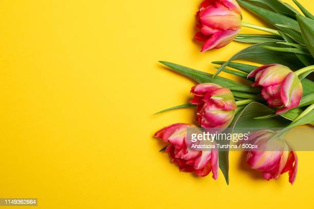 pink tulips on yellow background - international womens day stock pictures, royalty-free photos & images