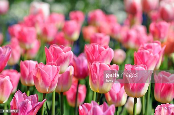pink tulips - flower show stock photos and pictures