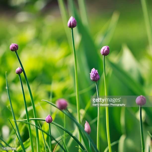 pink tulips - ラッペーンランタ ストックフォトと画像