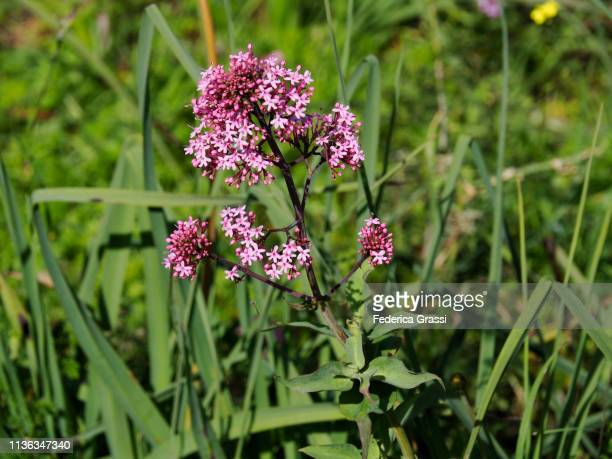 pink valerian flowers in the sicilian springtime - valerian plant stock pictures, royalty-free photos & images