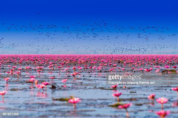 Pink water lilies with birds in the lake