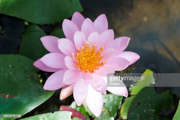pink water lily blooming in summer