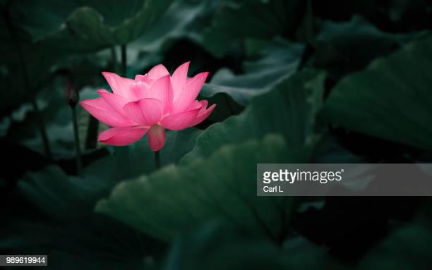 pink water lily flower - fiore di loto foto e immagini stock