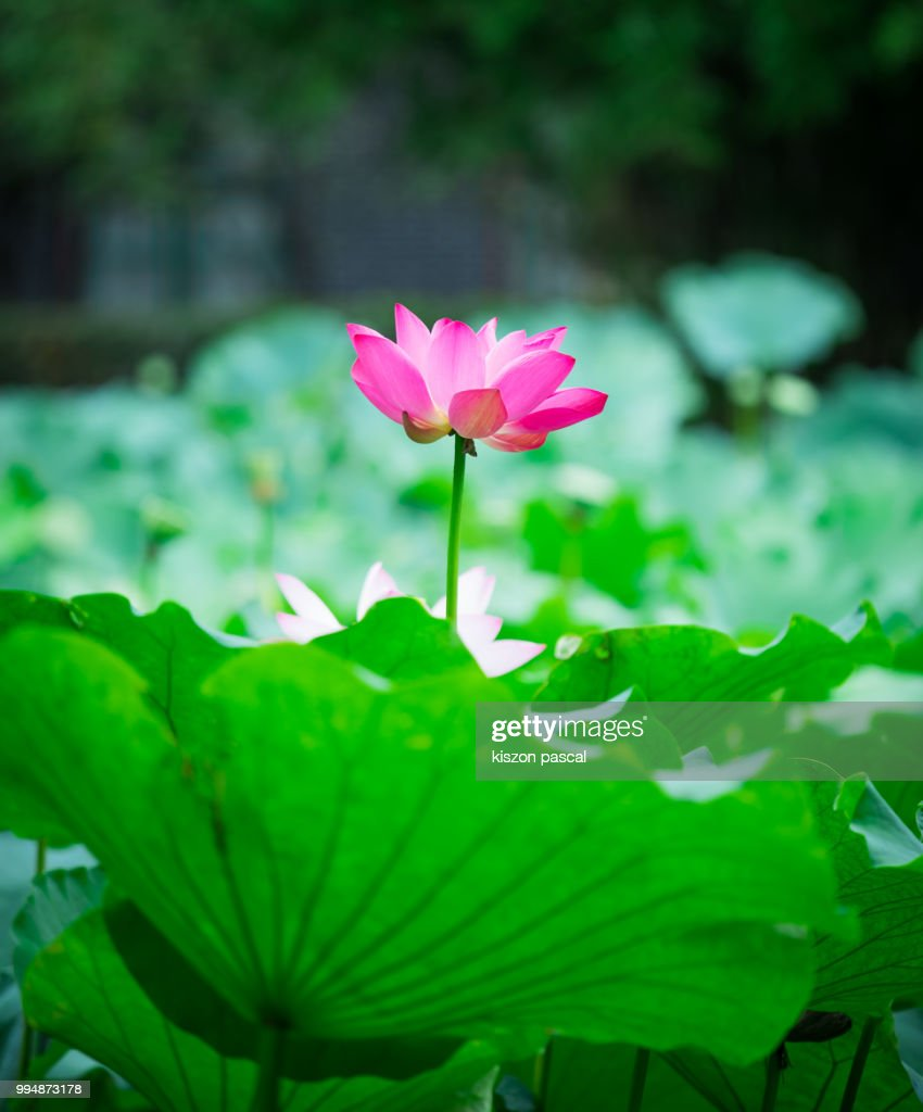 Pink Water Lily Or Lotus Flower In A Beautiful Natural Pond China