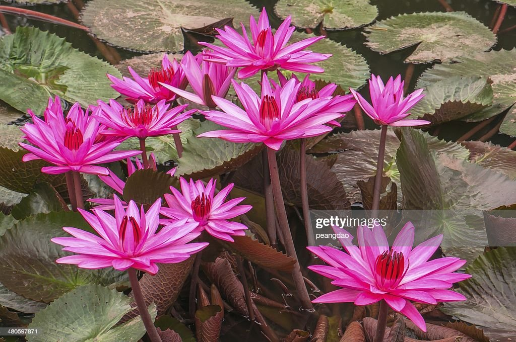 Pink water lily : Stock Photo