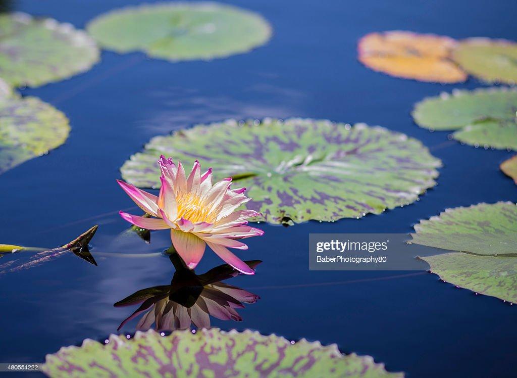 Lírio Rosa com reflexão de água : Foto de stock