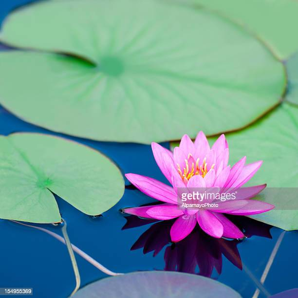 pink waterlily with large green water leaves - v - water lily stock photos and pictures