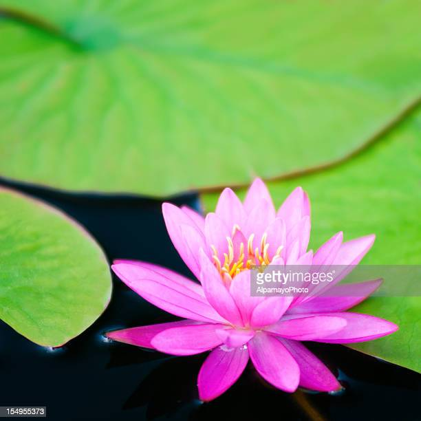Pink waterlily with large green water leaves - VI