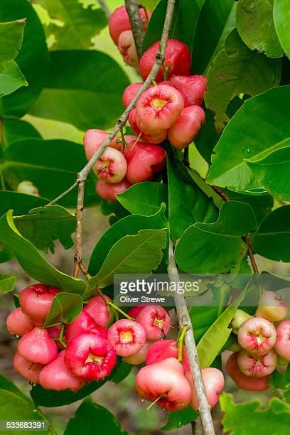 Pink Wax Jambu fruit