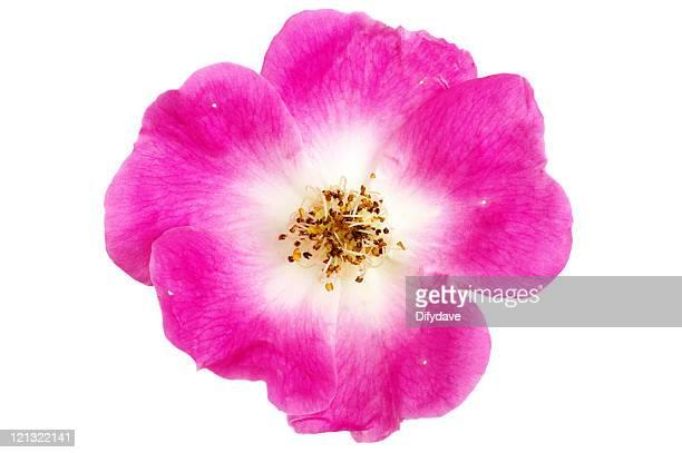 Pink Wild Rose, isoliert auf weiss