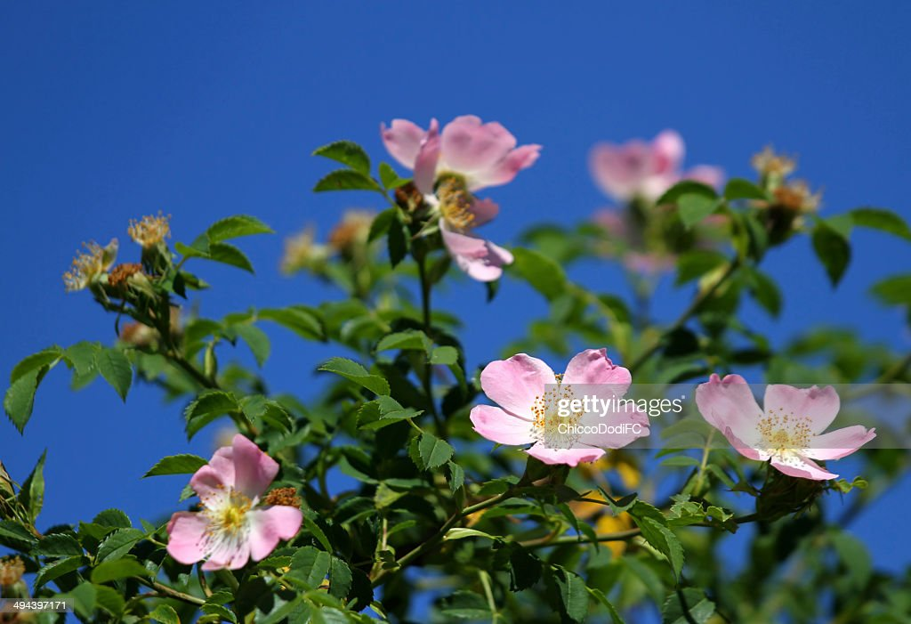 Pink wild roses in a bush of thorns in spring stock photo getty images pink wild roses in a bush of thorns in spring stock photo mightylinksfo