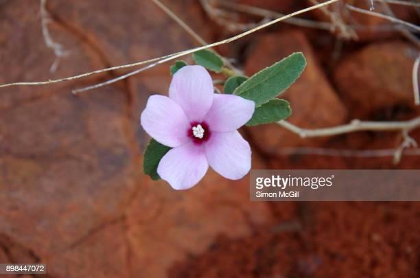Pink wildflower in bloom on the route of the Ridge Walk near Kings Canyon Resort, Petermann, Northern Territory, Australia