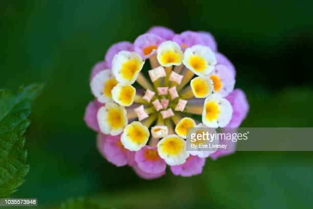 pink, yellow and white lantana flower - lantana stock pictures, royalty-free photos & images