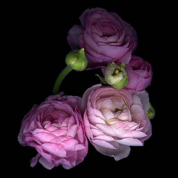 Pinkalicius ranunculus... Pink for OCTOBER...