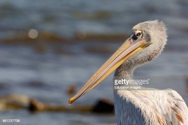 Pinkbacked pelican Pelecanus rufescens Lake Nakuru Nakuru Great Rift Valley Kenya