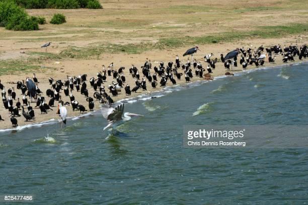 pink-backed pelican taking flight (pelecanus rufescens). - marabout photos et images de collection