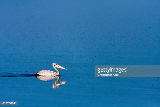 Pink-backed Pelican, Uganda