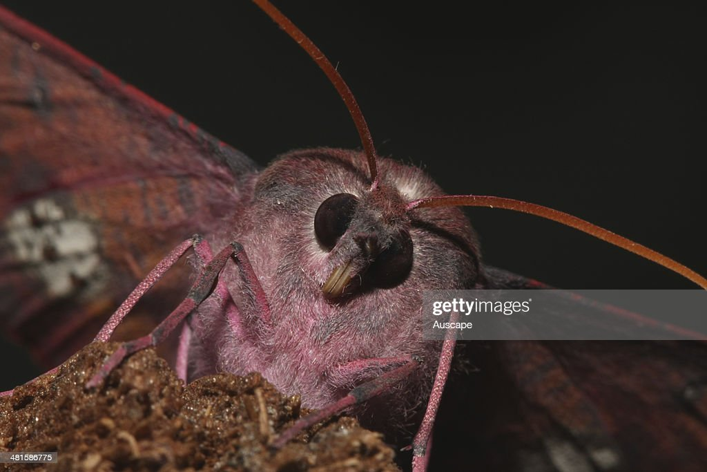 Pink-bellied moth : News Photo