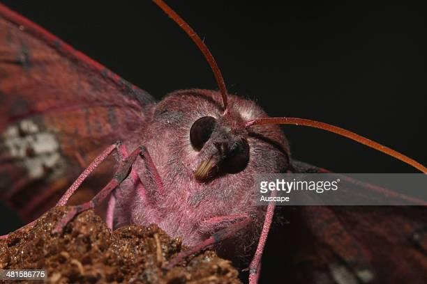 Pinkbellied moth Oenochroma vinaria that mimics a fallen leaf Australind Western Australia Australia