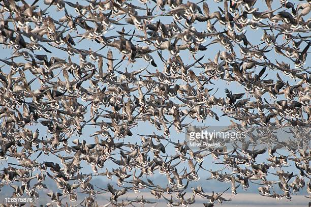 Pink-footed Goose (Anser brachyrhynchus) migrating flock, Norfolk, UK