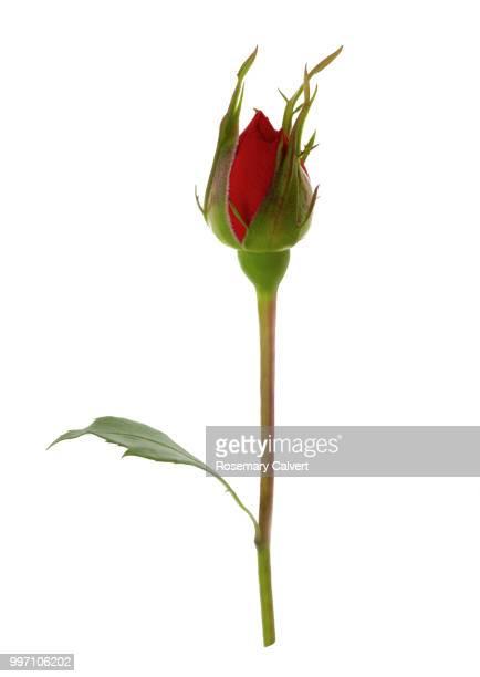 Pinkish orange rose bud, Rosa Showtime, on white.