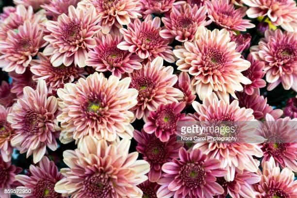 pinkish purplish chrysanthemum flower - chrysanthemum imagens e fotografias de stock