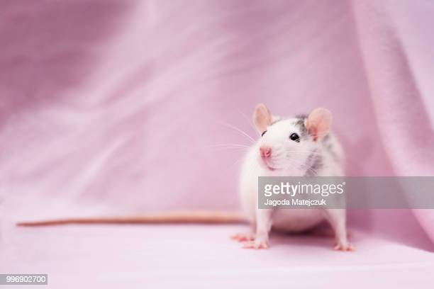 pinky princess - cute mouse stock pictures, royalty-free photos & images
