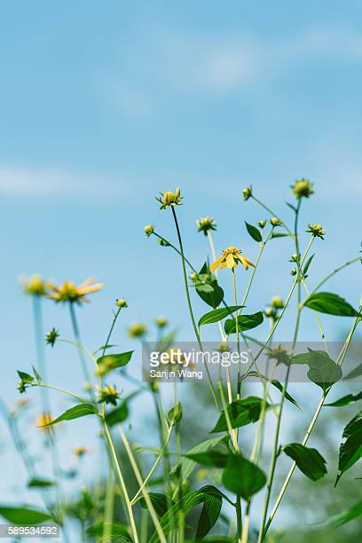 pinnate prairie coneflower with the background of blue sky - bloomington indiana stock pictures, royalty-free photos & images