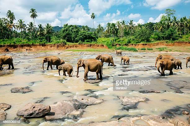 Éléphant Pinnawala Orphelinat, Sri Lanka.