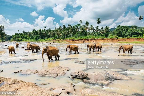 Pinnawala elephant orphanage, Sri Lanka.