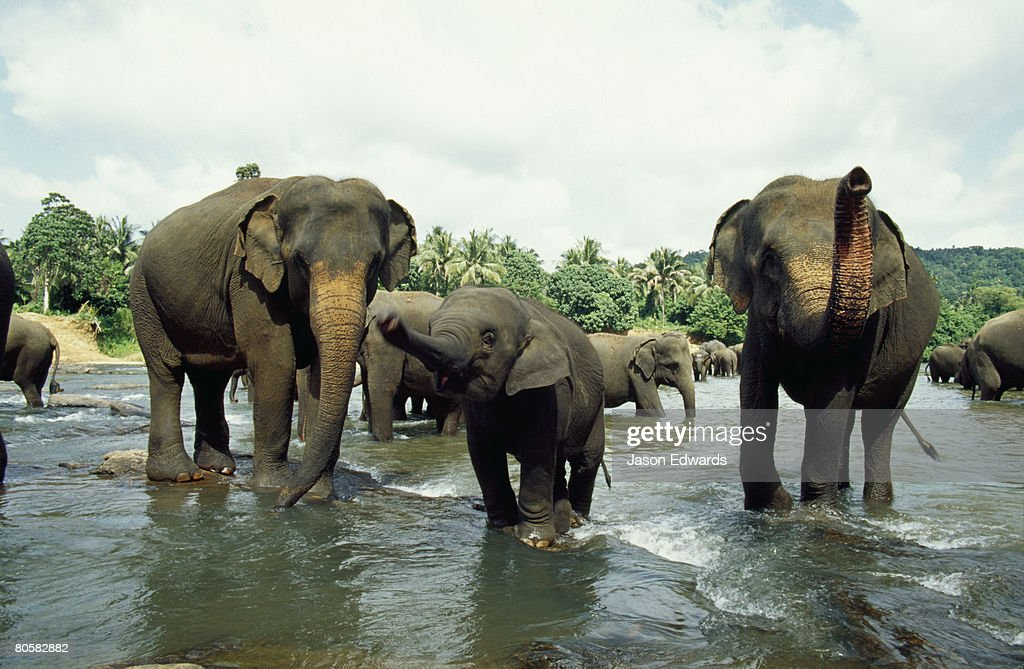 Pinnawela, Sri Lanka. : ストックフォト