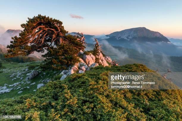 pino loricato al tramonto e monte pollino - バシリカータ ストックフォトと画像