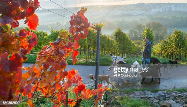 Pino Puglisi owner of dog hotel Paradiso goes for a walk with his fourlegged guests through the vineyards in Ludwigsburg southwestern Germany on a...