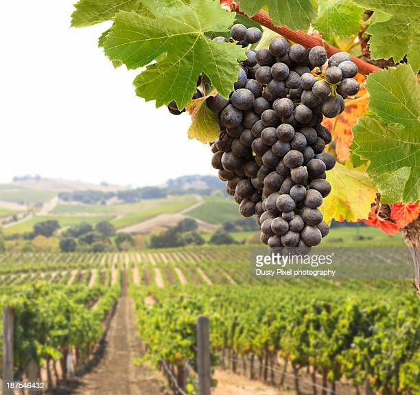 pinot grapes - pinot noir grape stock photos and pictures