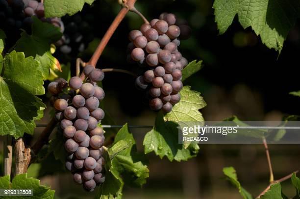 Pinot grigio grape Trentino Italy Europe