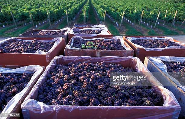 pinot gris grape harvest okanagan
