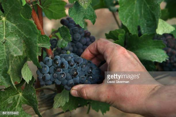 Pinot Gris grapes are harvested for Dalton Winery on August 10 2017 at Misgav in the Upper Galilee in northern Israel In a trend that started in...