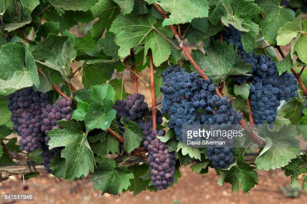 Pinot Gris grapes at left are seen alongside darker Pinot Noir grapes during a harvest for Dalton Winery on August 10 2017 at Misgav in the Upper...