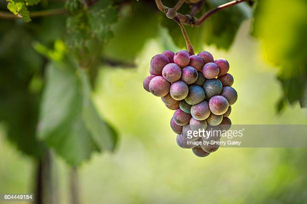 pinot gris grapes, niagara region, canada - grape stock pictures, royalty-free photos & images