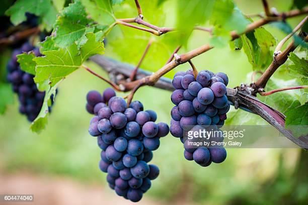 Pinot Gris grapes, Niagara region, Canada