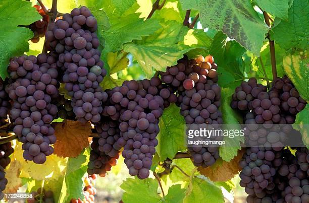 pinot gris grapes organic - kelowna stock pictures, royalty-free photos & images