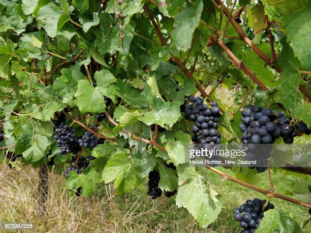 pinot noir bunches in a new zealand vineyard - marlborough new zealand stock pictures, royalty-free photos & images