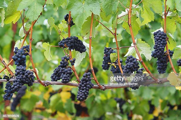 pinot noir clusters - pinot noir grape stock photos and pictures