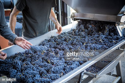 Pinot Noir Grape Harvest