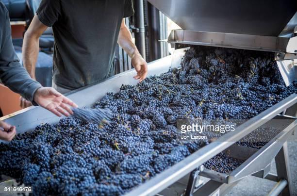 Pinot Noir Grape Harvest