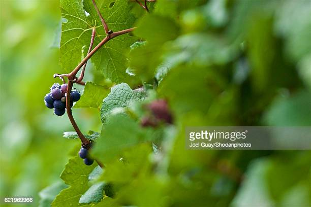 pinot noir grapes on the vine - pinot noir grape stock photos and pictures