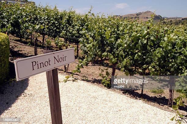 pinot noir grapes - pinot noir grape stock photos and pictures