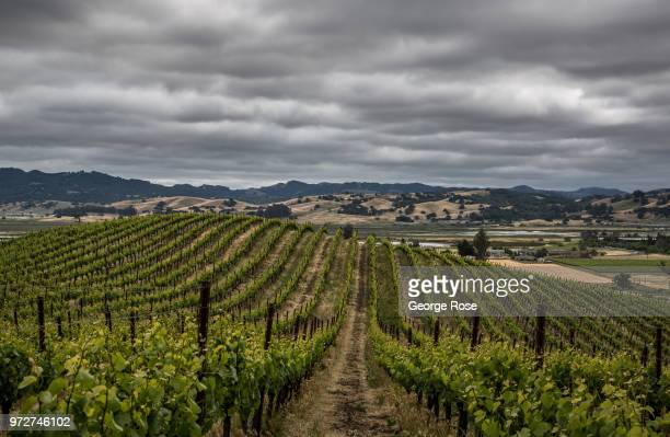Pinot noir grapevines in the Petaluma Gap AVA are enjoying cool weather grape growing conditions on a foggy afternoon as viewed on May 24 near...