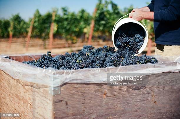 pinot noir harvest - pinot noir grape stock photos and pictures