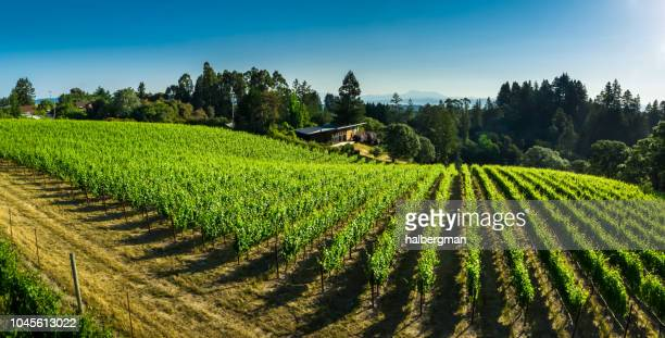 pinot noir vineyard in sonoma county, ca - aerial shot - sonoma county stock pictures, royalty-free photos & images